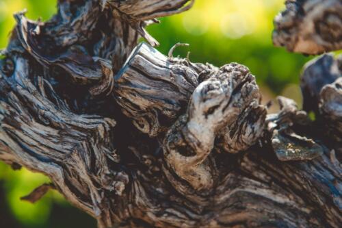 Les vieilles vignes